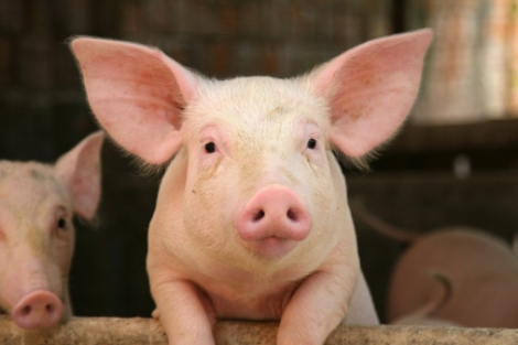 LA-MRSA-discovered-in-piglet-in-Northern-Ireland